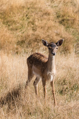 cautious red deer fawn