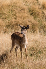 cautious deer fawn standing  on grassy meadow