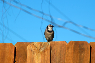 blue jay bird on fence looking away