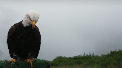 Eagle Looks Around And Grooms