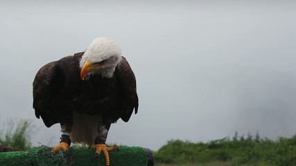 Eagle Stretches Wings