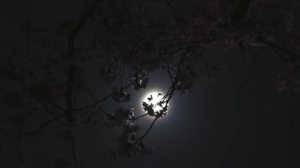 月明かりと夜桜