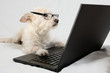 Light brown terrier with glasses looking at laptop - 80992620