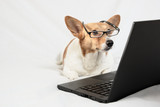 Cardigan Welsh Corgi wearing glasses and looking at laptop