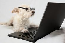 "Постер, картина, фотообои ""Light brown terrier with glasses looking at laptop"""