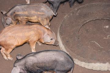 Piggy in sty.