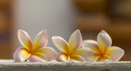 Colorful fresh plumeria flower with blur background