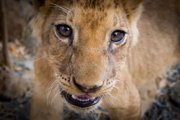 Jeune lionceau joueur