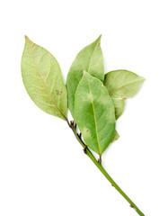 green leaves of the laurel tree