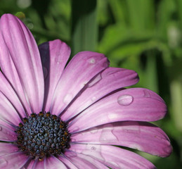 Gouttes d'eau sur fleur d'osteospermum