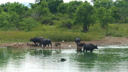 wild buffalo bathing in the lake in Sri Lanka
