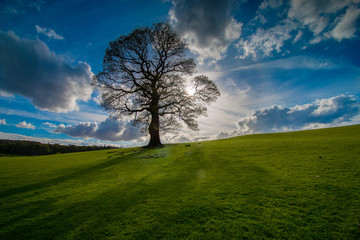 Lone tree in a green field with blue sky and clouds
