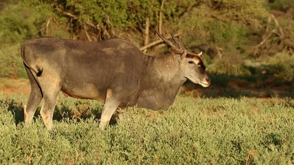 Feeding eland antelope, Mokala National Park