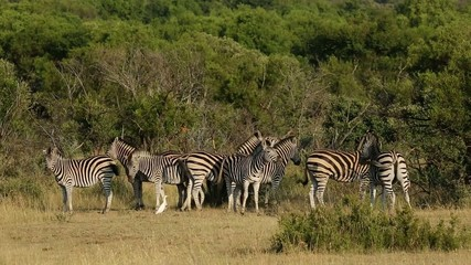 Plains zebras (Equus burchelli) in natural habitat