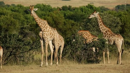 A group of giraffes in natural habitat