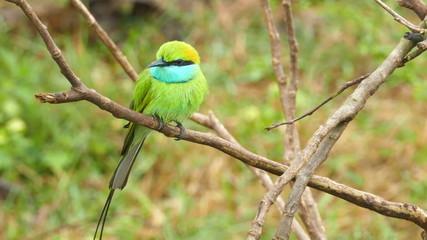 Green Bee-eater (Merops orientalis) bird on branch in Sri Lanka