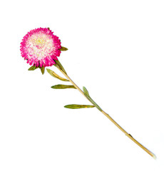 Dry flowers on a white background aster