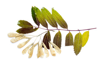 maple seeds dry leaves