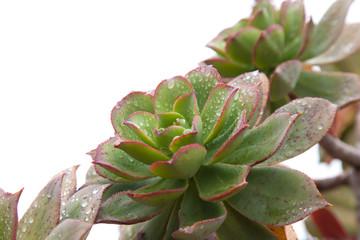 wet succulent Aeonium