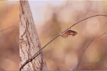 Butterfly's pupa