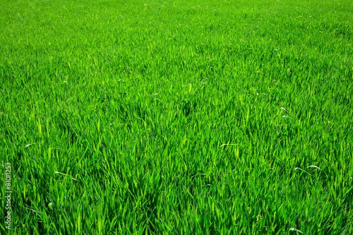 Staande foto Planten grass texture