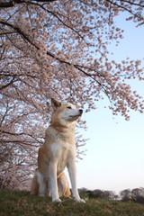 桜の花と見つめる犬