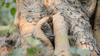 Two spotted owls nest in a tree hold