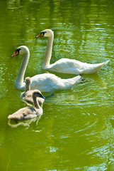 two swans and their two chicks