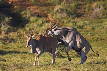 Eland-Paarung