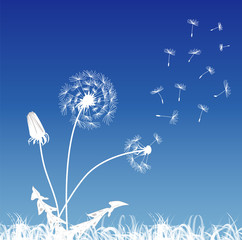 White dandelions on a blue background