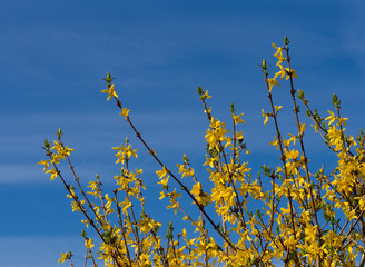 Spring flowers of yellow forsythia, streaky blue sky