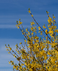 Forsythia detail - bright yellow spring flowers over blue sky