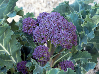 Home gardening - Purple sprounting healthy vegetable