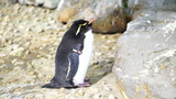 Small cute penguin standing around the rock. Erect Crested Pengu poster