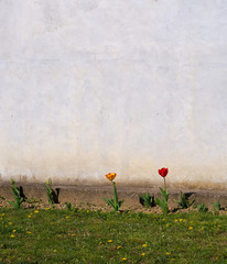 Minimalistic spring background. Tulip flowers in small bed by wa