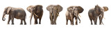 African elephants isolated on white