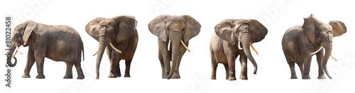 Leinwanddruck Bild African elephants isolated on white