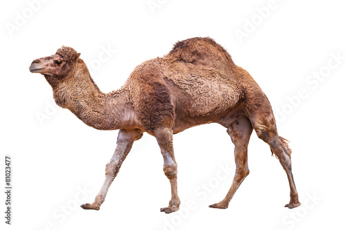 Foto op Canvas Afrika Camel isolated on white