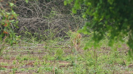 wild spotted deer in the woods