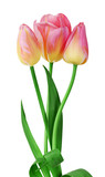 Color tulips isolated on white