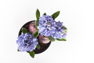 Flowering hyacinths on a light background. Shallow depth of fiel