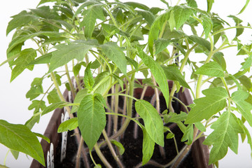 Tomato seedlings in a box on a light background. Shallow depth o
