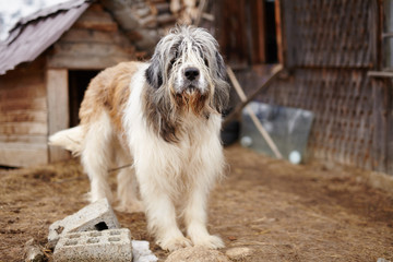 Carpathian Shepherd Dog standing in the yard