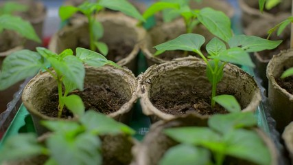 Seedlings in peat pots. Child's hand touches the little plant.