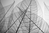 Fototapety Skeleton leaves on grey background, close up