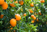 Orange trees with ripe fruits