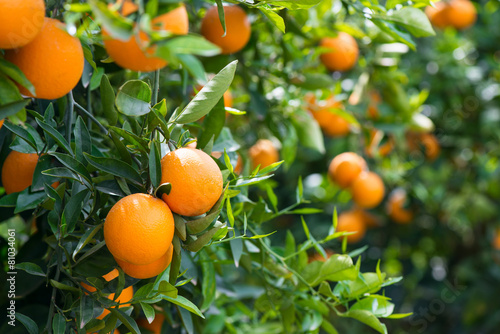 Poster Bomen Orange trees with ripe fruits
