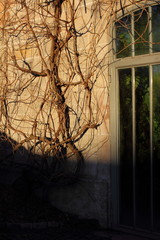 Kletternde Pflanze an einer Hauswand