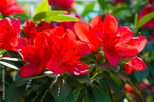 Foto op Canvas Azalea Red Azaleas