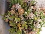 多肉植物の寄せ植え鉢